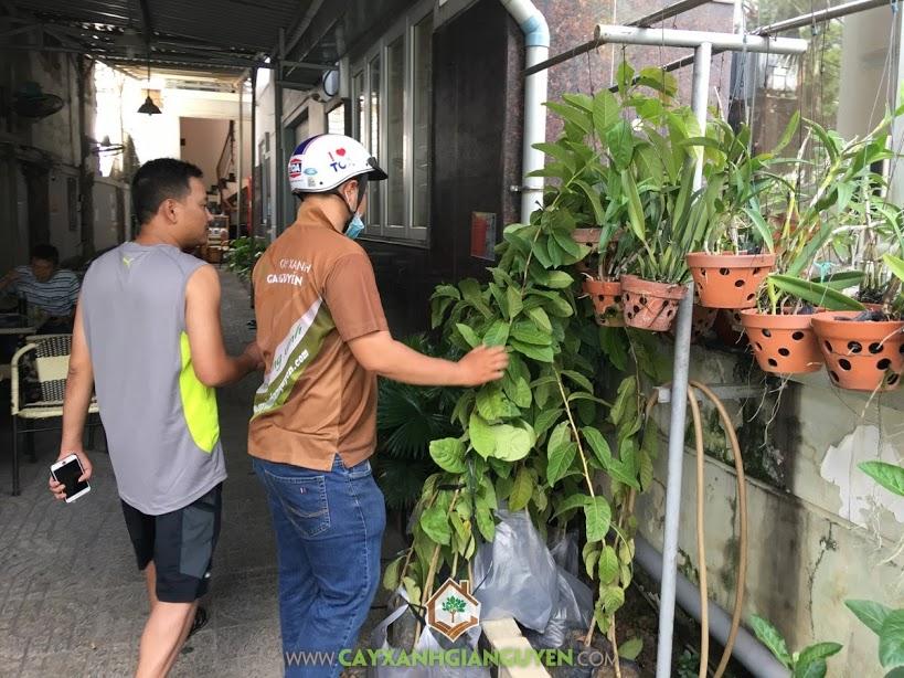 Bằng Lăng, Phượng Vỹ, Vườn ươm Cây Xanh Gia Nguyễn, Cây xanh, Cây Bằng Lăng