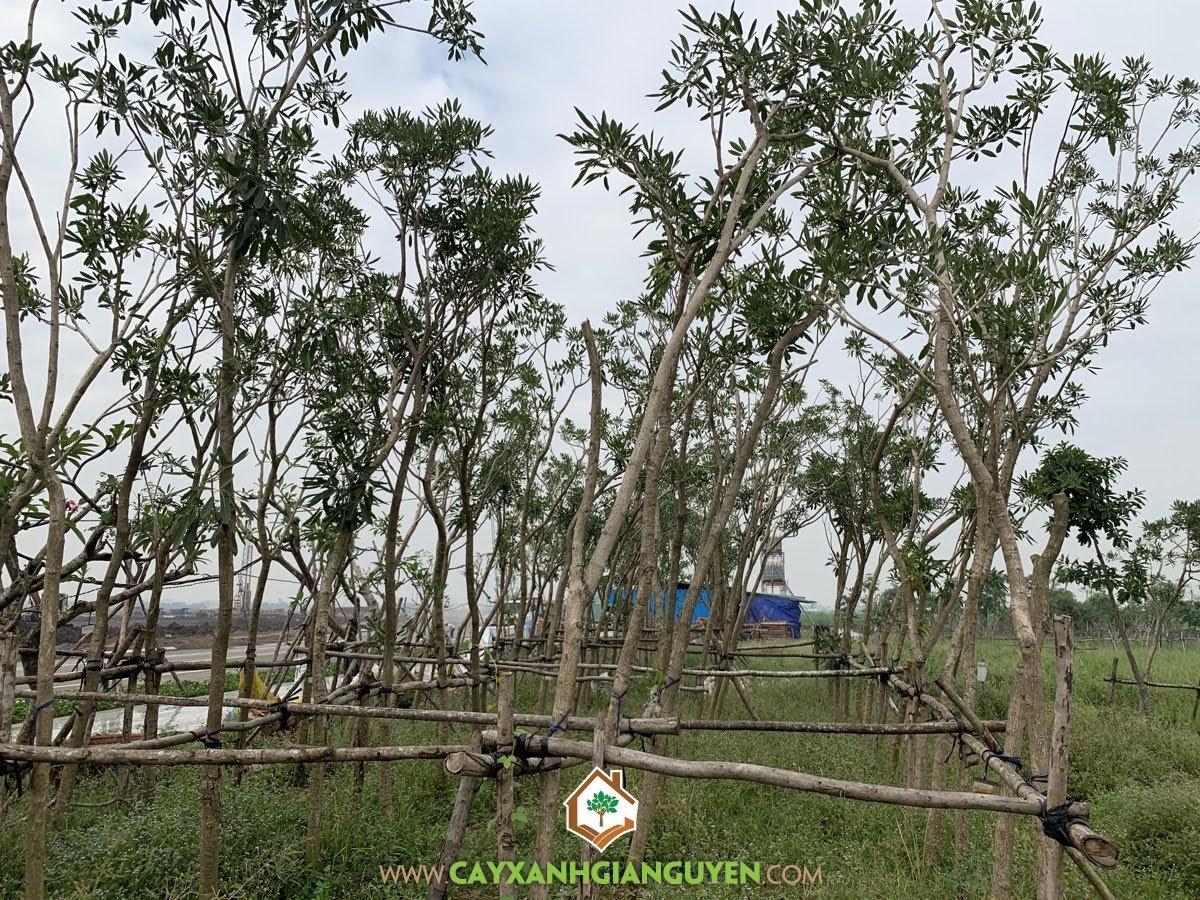 Trồng Cây Chuông Vàng, Kỹ thuật trồng Cây Chuông Vàng, Cây Chuông Vàng, Cây Ngoại Cảnh, Chuông Vàng