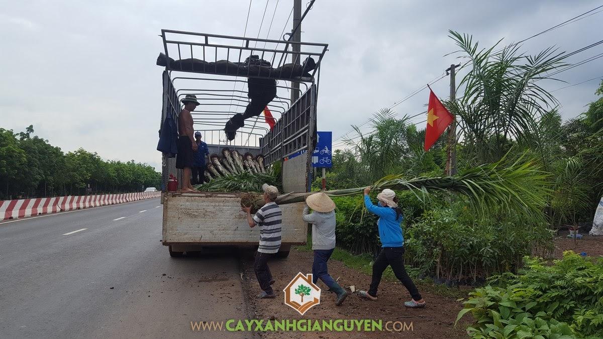 Cây Cau Vua, Vườn ươm Cây Xanh Gia Nguyễn, Cây giống, Giống Cau Vua, Cau Vua