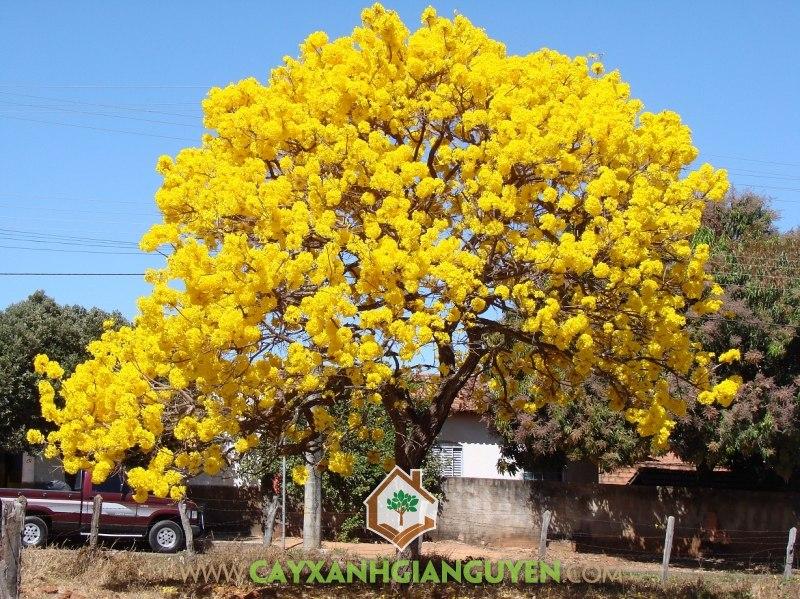 Trồng Cây Chuông Vàng, Cây Chuông Vàng, Cây Hoa Chuông Vàng, Cách trồng Chuông Vàng, Cây Tiểu Cảnh