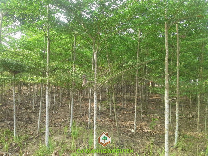 Bàng Đài Loan, Cây Bàng Đài Loan, Trồng Bàng Đài Loan, Giống cây bản địa, Giống Bàng Ta