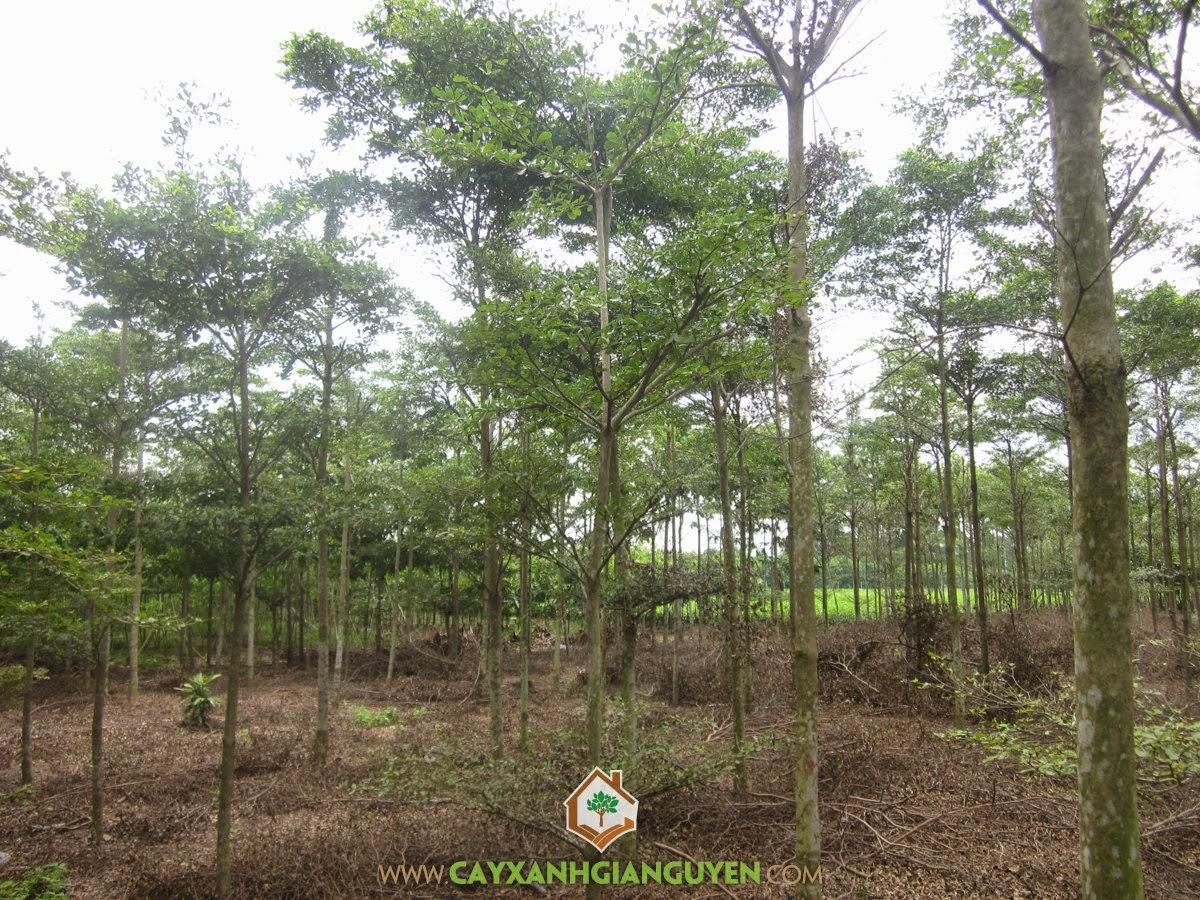 Bàng Đài Loan, Vườn ươm Cây Xanh Gia Nguyễn, Bàng Vuông, Giống Bàng Ta, Giống Bàng Vuông