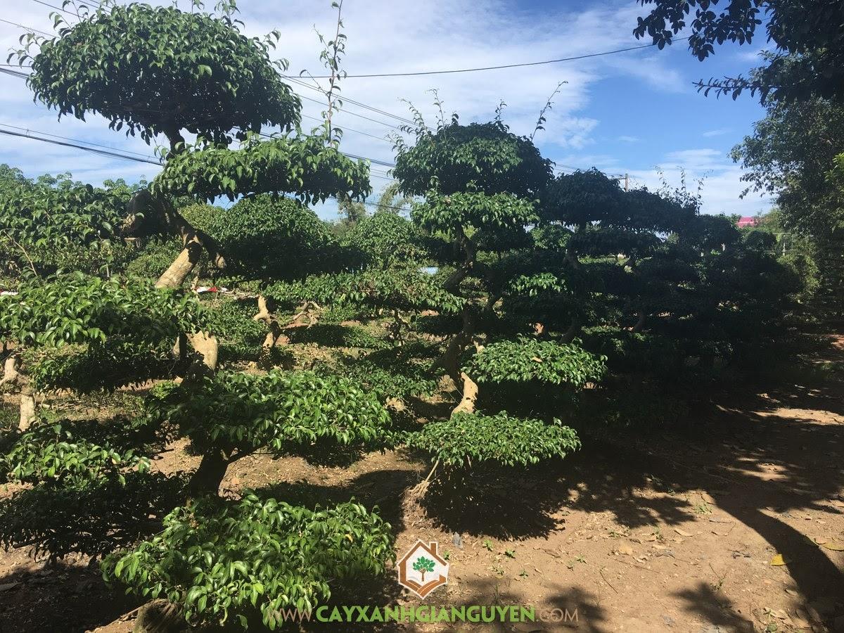 Cây Sanh, Trồng Cây Sanh, Sanh Dáng Bonsai, Cây Sanh Trực Liên Chi, Sanh