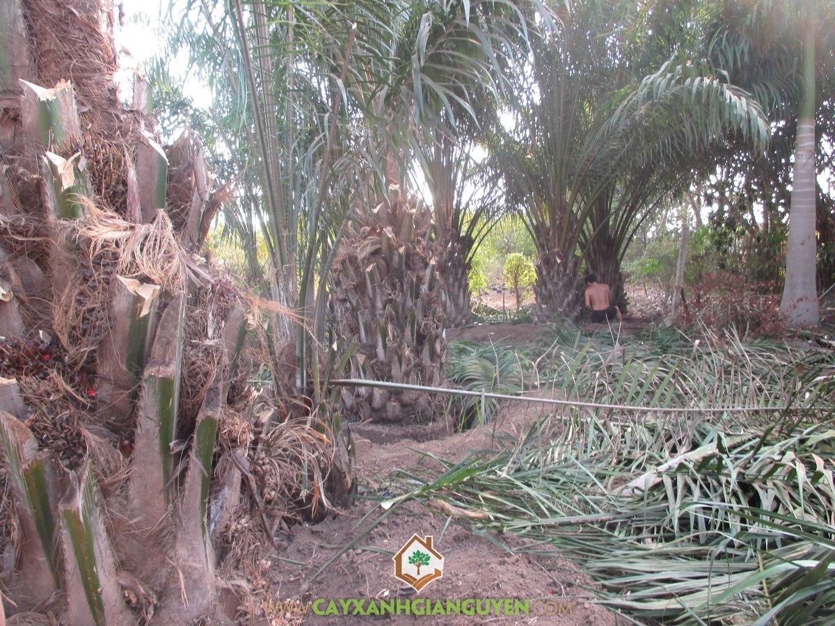 Kỹ thuật trồng Cây Cọ Dầu, Trồng Cọ Dầu, Cây Giống, Cây Cọ Dầu, Cây Công Nghiệp