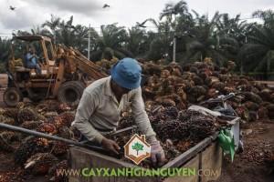 can-canh-thu-hoach-cay-co-dau-o-don-dien-indonesia-hinh-13(1)