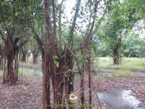 Cây Sanh, Cây si, Cây Si Gừa, Trồng làm cây bonsai, Trồng cây sanh