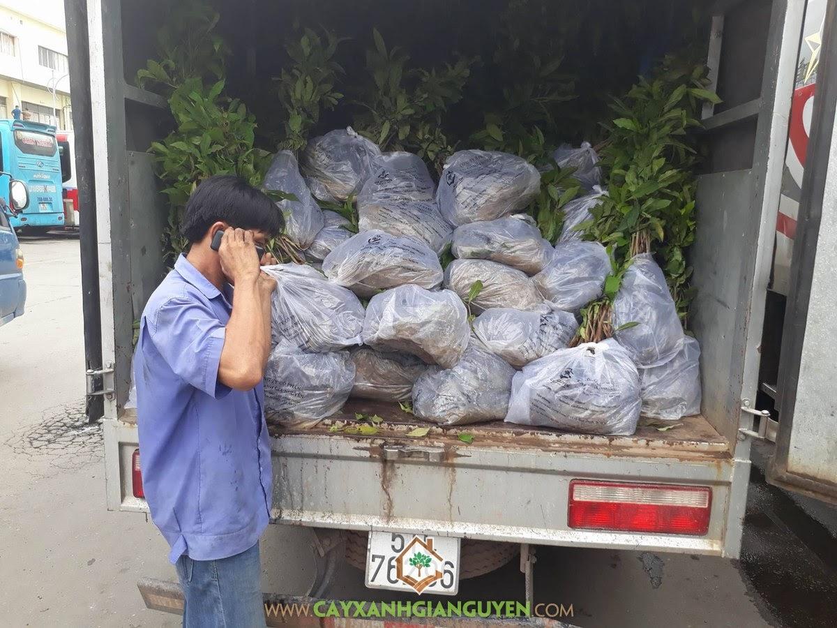 Cây Lộc Vừng, Vườn ươm Cây Xanh Gia Nguyễn, Chăm sóc Cây Lộc Vừng, Cây Ngoại Cảnh, Cây Giống Lộc Vừng