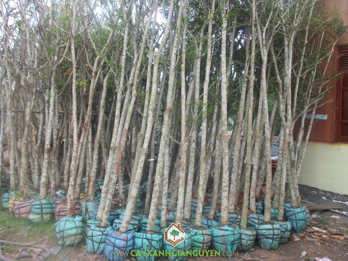 Bàng Đài Loan, Cây Bàng Đài Loan, Cây Ngoại Cảnh, Vườn ươm Cây Xanh Gia Nguyễn, Mua Cây Bàng đài Loan