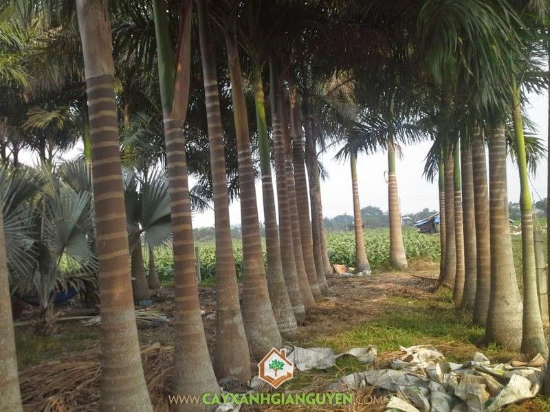 Kỹ thuật trồng Cây Cau Vua, Cây Cau Vua, Cây giống, Đất trồng Cau Vua, Mua Cây Cau Vua Giống