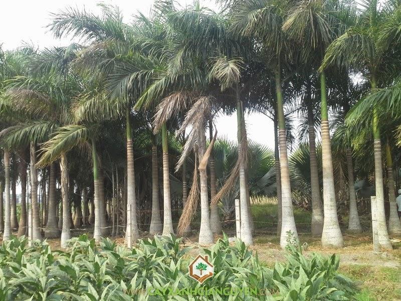 Cây Cau Vua, Giống cây, Vườn ươm Cây Xanh Gia Nguyễn, Chăm sóc Cây Cau Vua công trình, Mua Cây Cau Vua