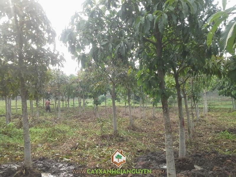 Cây SaLa, SaLa, Hoa SaLa, Vườn Lumbini, Cây Công Trình