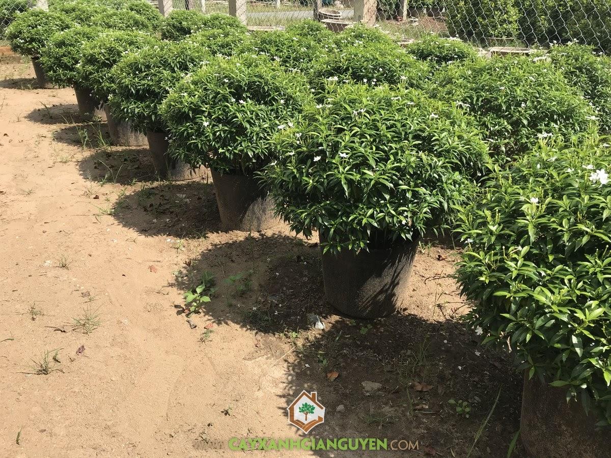 Cây Mai Vạn Phúc, Cách trồng và chăm sóc Cây Mai Vạn Phúc, Vườn ươm Cây Xanh Gia Nguyễn, Trồng Cây Mai Vạn Phúc, Mai Vạn Phúc