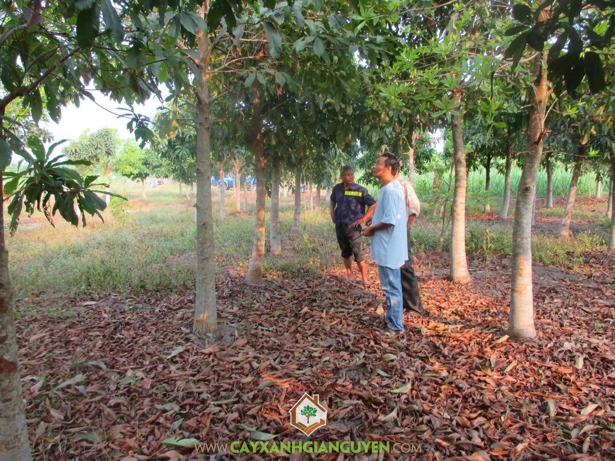Cây SaLa, Cây SaLa Giống, Cây giống, Vườn ươm Cây Xanh Gia Nguyễn, Mua Cây SaLa