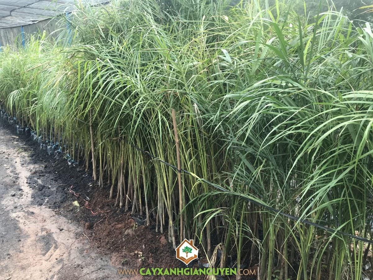 Cách ươm giống Cây Cau Vua, Cây Cau Vua, Giống Cây Cau Vua, Vườn ươm Cây Xanh Gia Nguyễn, Cây Cau Vua