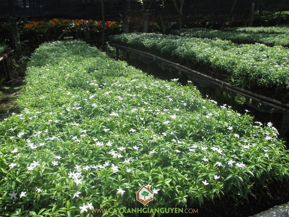 Cây Mai Vạn Phúc, Cách trồng Cây Mai Vạn Phúc, Hoa Mai Vạn Phúc, Trồng cây, Cây giống