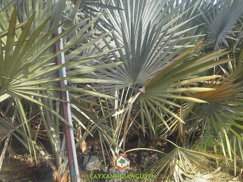 Cây Kè Bạc Mỹ, Giống Kè nội địa, Cách trồng Cây Kè Bạc Mỹ, Giống Cây Kè Bạc, Vườn ươm Cây Xanh Gia Nguyễn