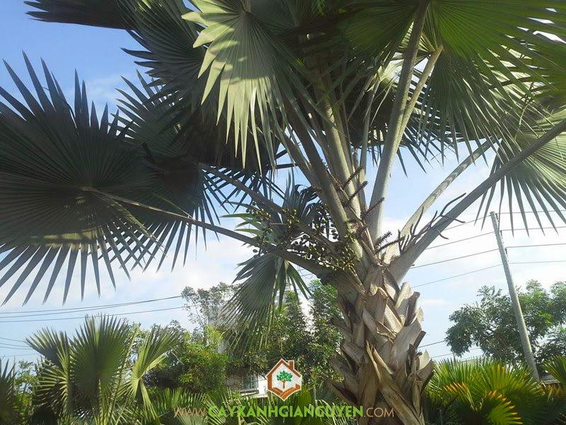 Cây Kè Bạc, Kè Bạc, Cây xanh cảnh quan, Trồng cây xanh, Cây Bóng Mát