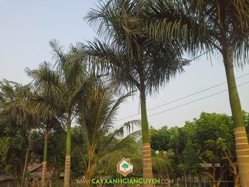 Cây Cau Vua, Vườn ươm Cây Xanh Gia Nguyễn, Giống Cau Vua, Hoa Cây Cau Vua, Cau Vua