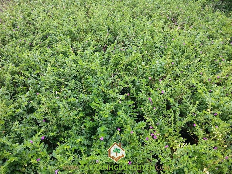 Cây Hoa Cẩm Tú Mai, Cây Cẩm Tú Mai, Trồng Cây Cẩm Tú Mai, Vườn ươm Cây Xanh Gia Nguyễn, Giống Cẩm Tú Mai