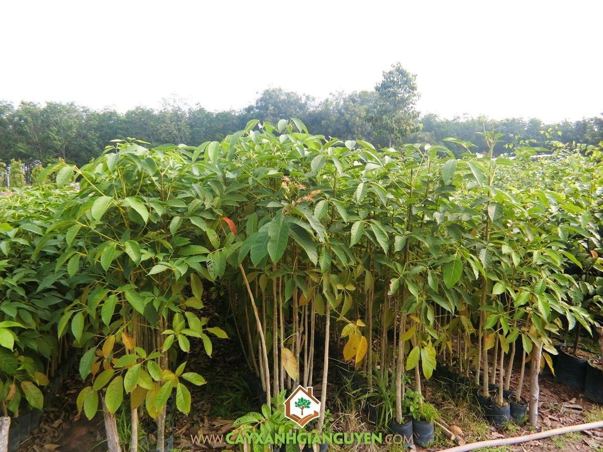 Cây Kèn Hồng, Trồng cây giống, Kỹ thuật trồng Cây Kèn Hồng, Giống Cây Kèn Hồng, Cây Trang Trí