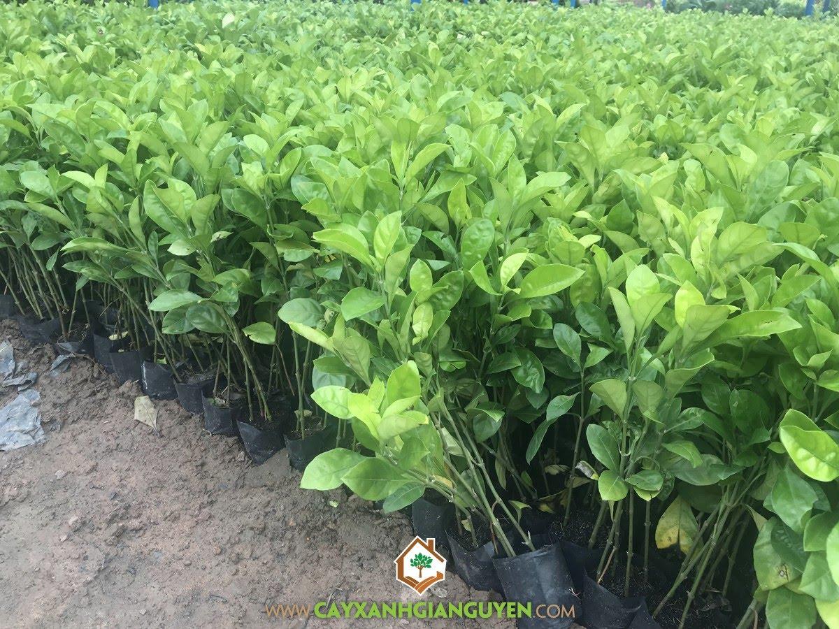 Cây Ắc Ó, Vườn ươm Cây Xanh Gia Nguyễn, Cây Giống Ắc Ó, Trồng Cây Ắc Ó, Kỹ thuật trồng và chăm sóc