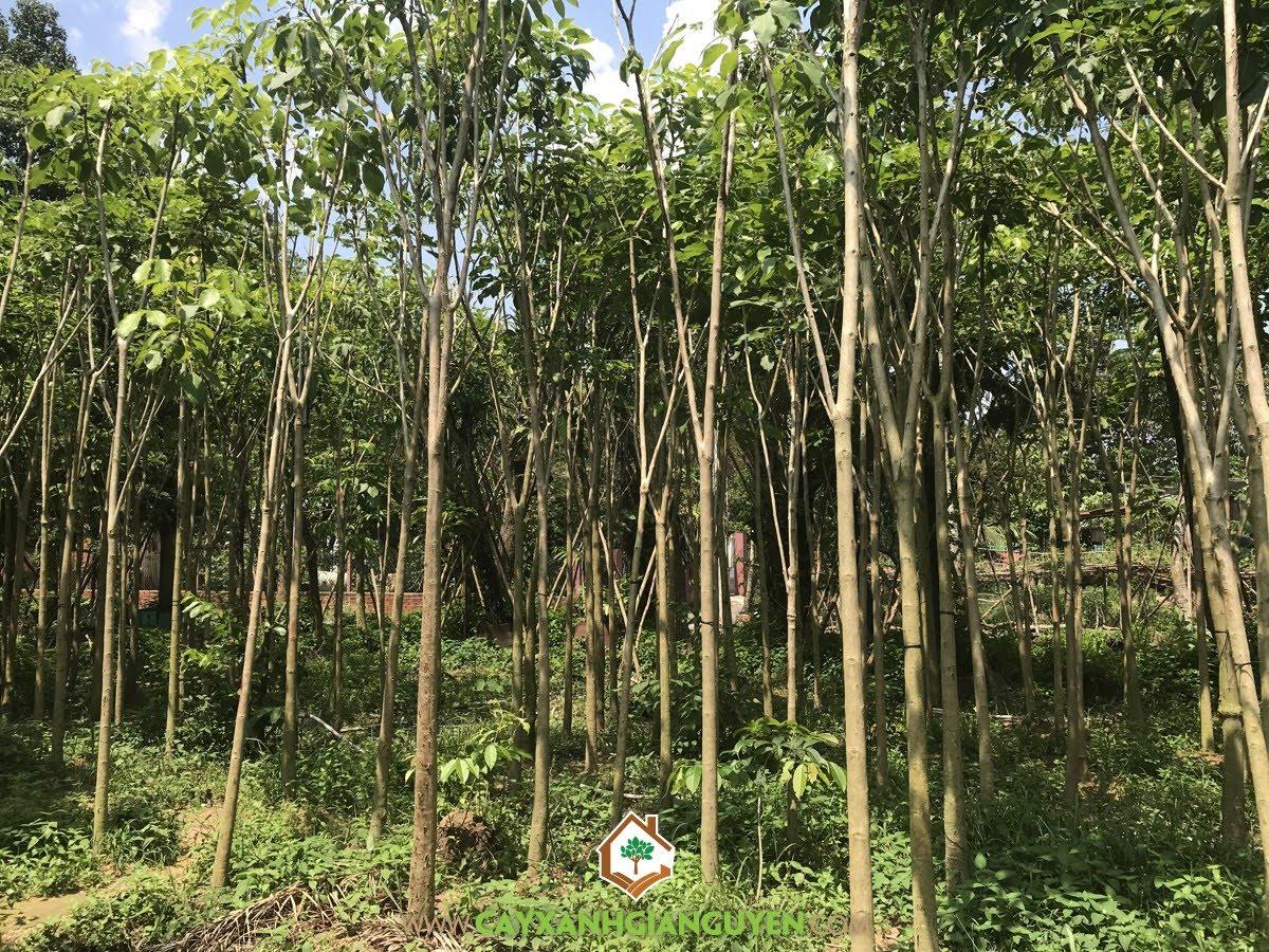 Cây Kèn Hồng, Cây Cảnh Đô Thị, Vườn ươm Cây Xanh Gia Nguyễn, Cây giống, Cây Kèn Hồng Giống