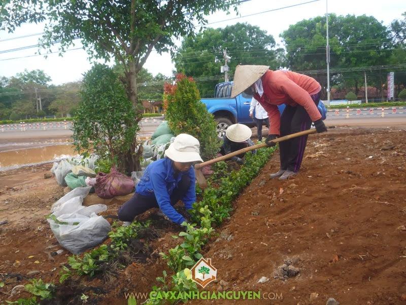 Cây Hắc ó, Cách trồng Cây Hắc Ó, Kỹ thuật trồng Cây Hắc Ó, Trồng cây giống, Giống Hắc Ó