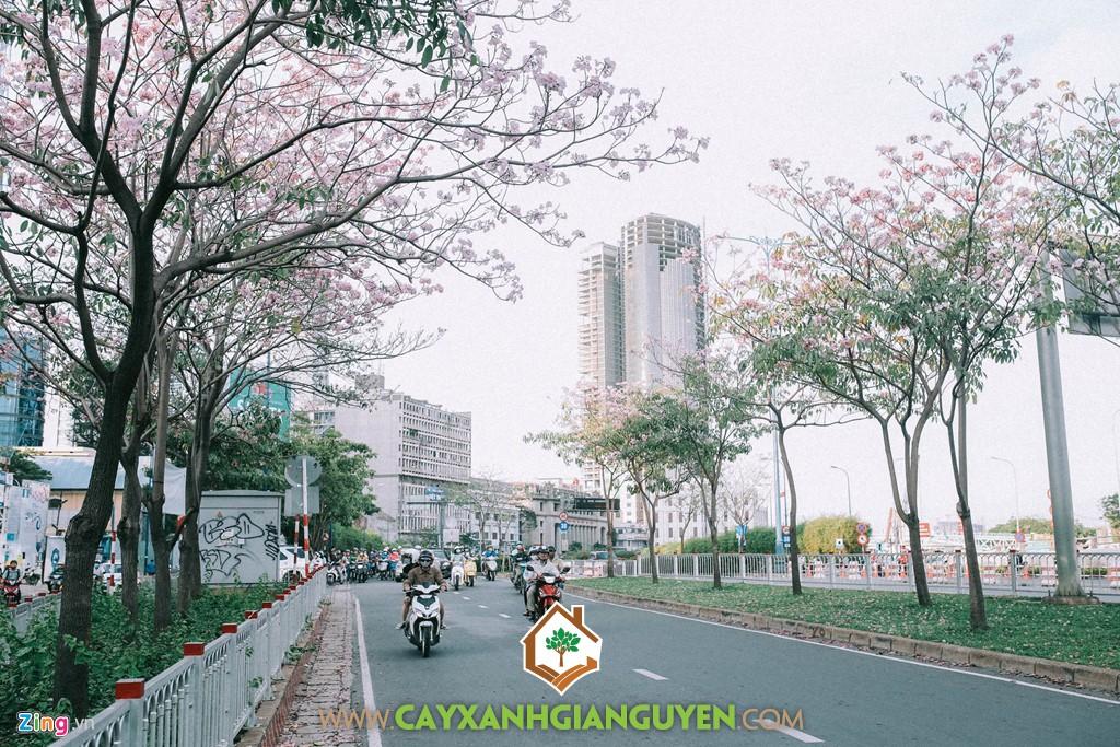 Cây Hoa Kèn Hồng, Cây Kèn Hồng, Cây Ngoại Cảnh, Cây Bóng mát, Cây Đô Thị