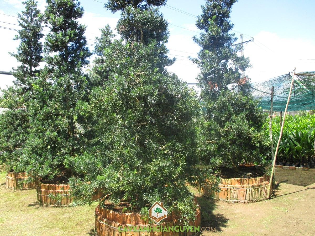 Cây Tùng La Hán, La Hán Tùng, Cây Bonsai, Giống Tùng La Hán, Cây Cảnh Ngoại Thất