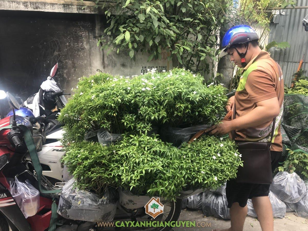 Cây Mai Vạn Phúc, Vườn ươm Cây Xanh Gia Nguyễn, Giống Mai Vạn Phúc, Mai Vạn Phúc, Cây Công Trình