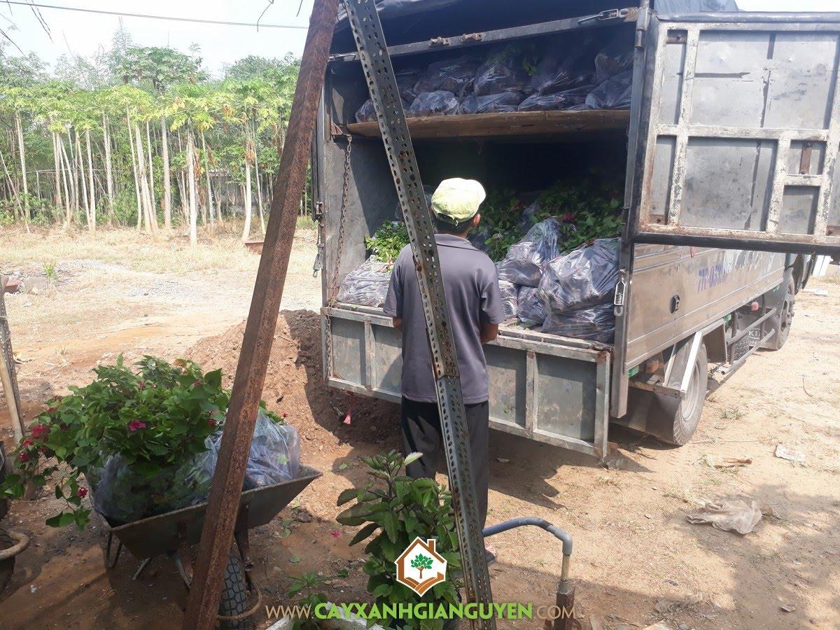 Cây Bông Giấy, Cây giống, Vườn ươm Cây Xanh Gia Nguyễn, Bông Giấy, Cây Xanh Gia Nguyễn
