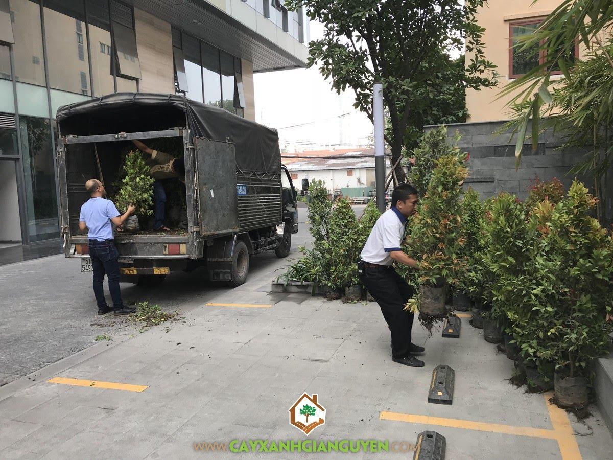 Cây Hồng Lộc, Vườn ươm Cây Xanh Gia Nguyễn, Hồng Lộc, Cây giống, Cây Xanh Gia Nguyễn