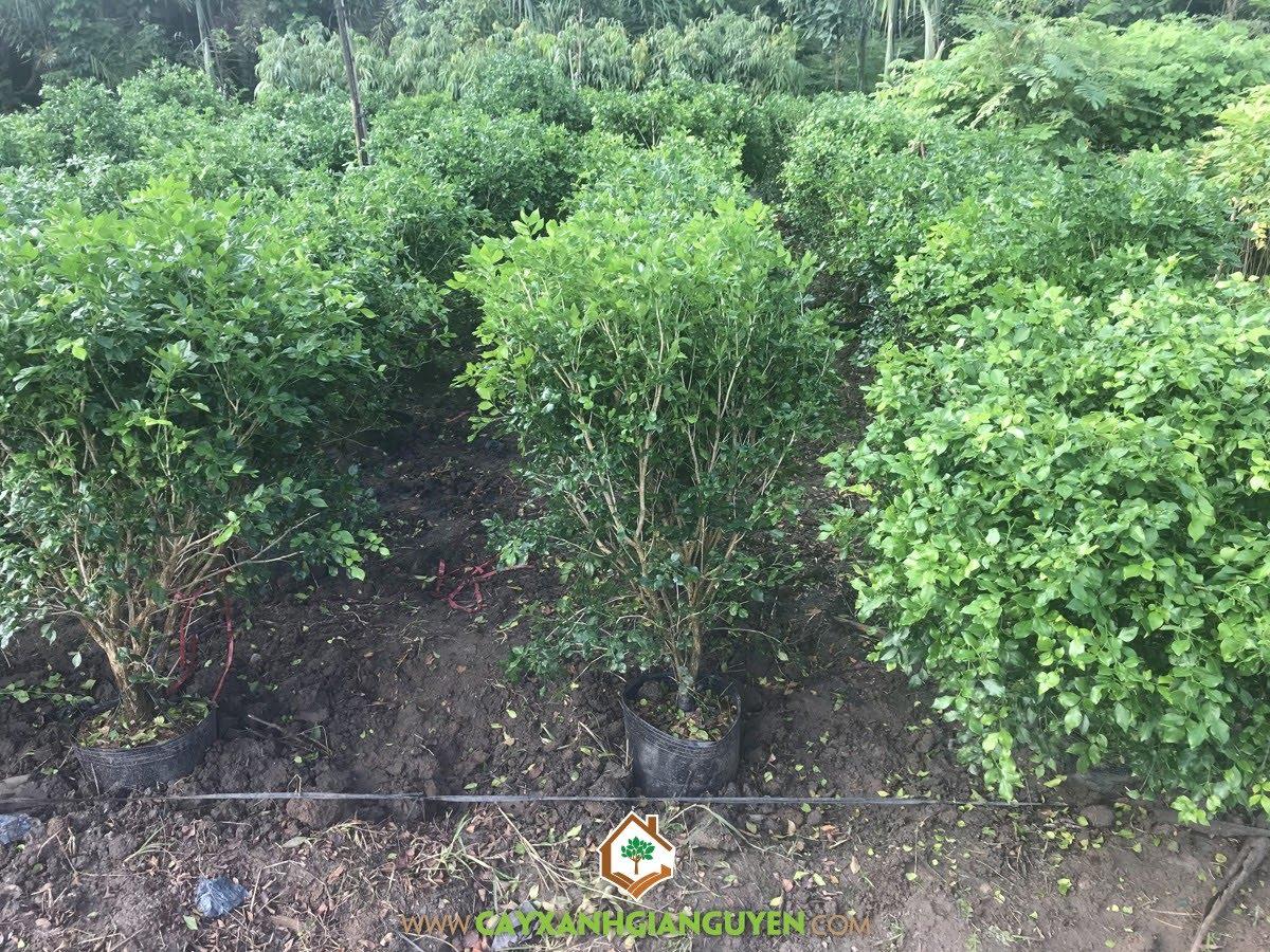 Nguyệt Quế, Nguyệt Quới, Nguyệt Quí, Murraya paniculata (L) Jack, Cây Công Trình