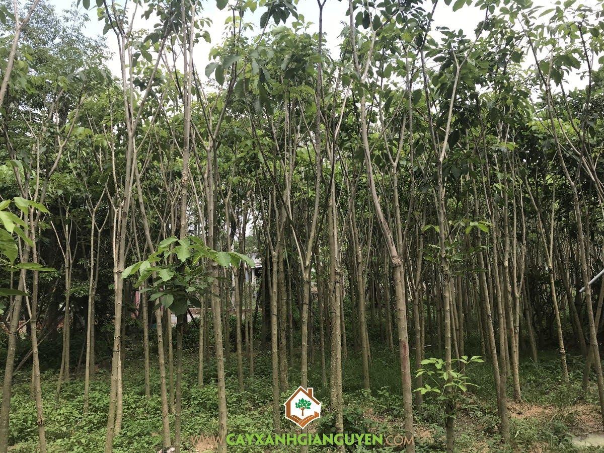 Cây Kèn Hồng, Kèn Hồng, Cây Chuông Hồng, Tabebuia rosea, Cây Công Trình