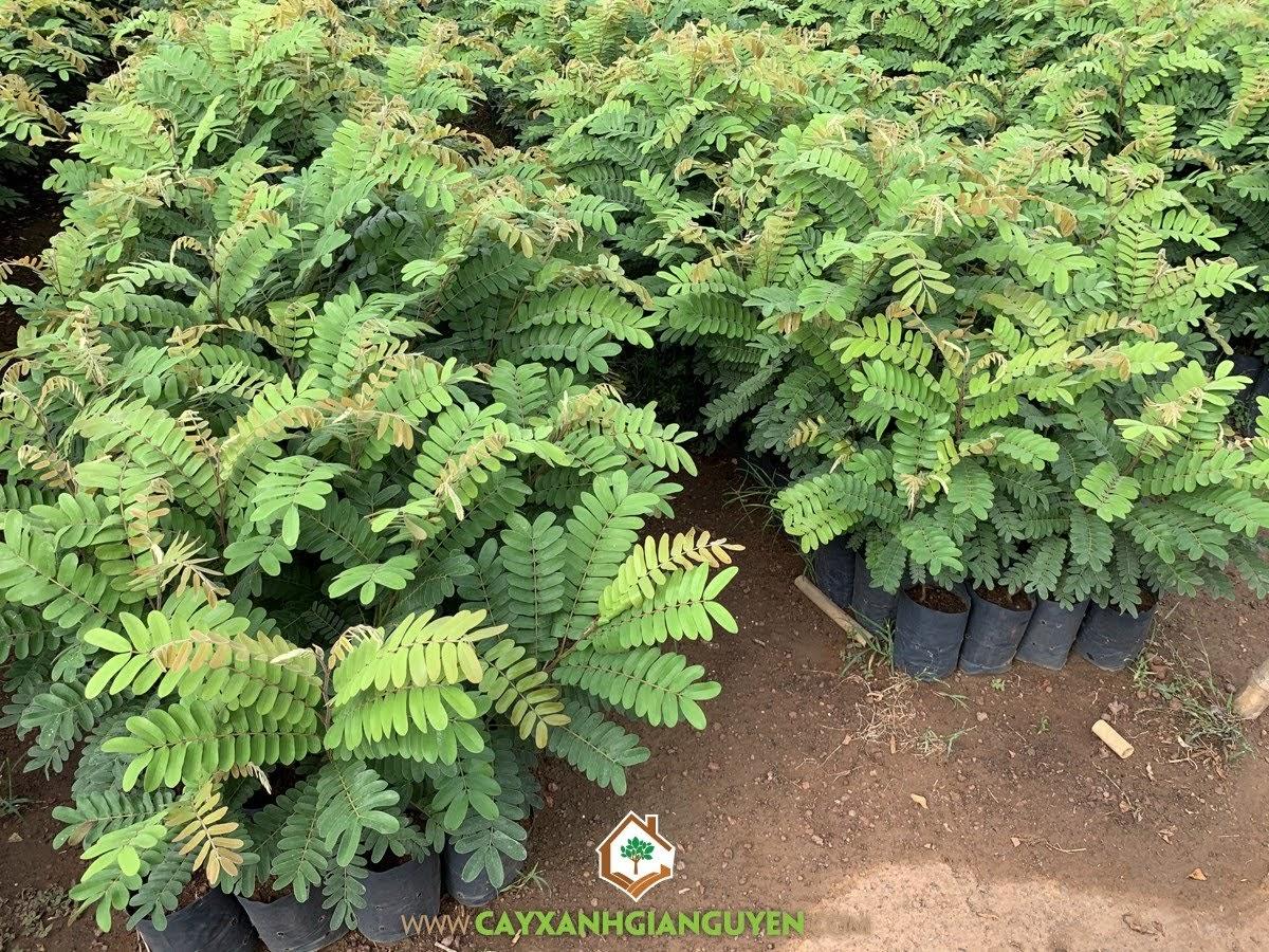 Cây Ô Môi, Cách trồng Cây Ô Môi, Vườn ươm cây giống, Vườn ươm Cây Xanh Gia Nguyễn, Trồng Cây Ô Môi Giống