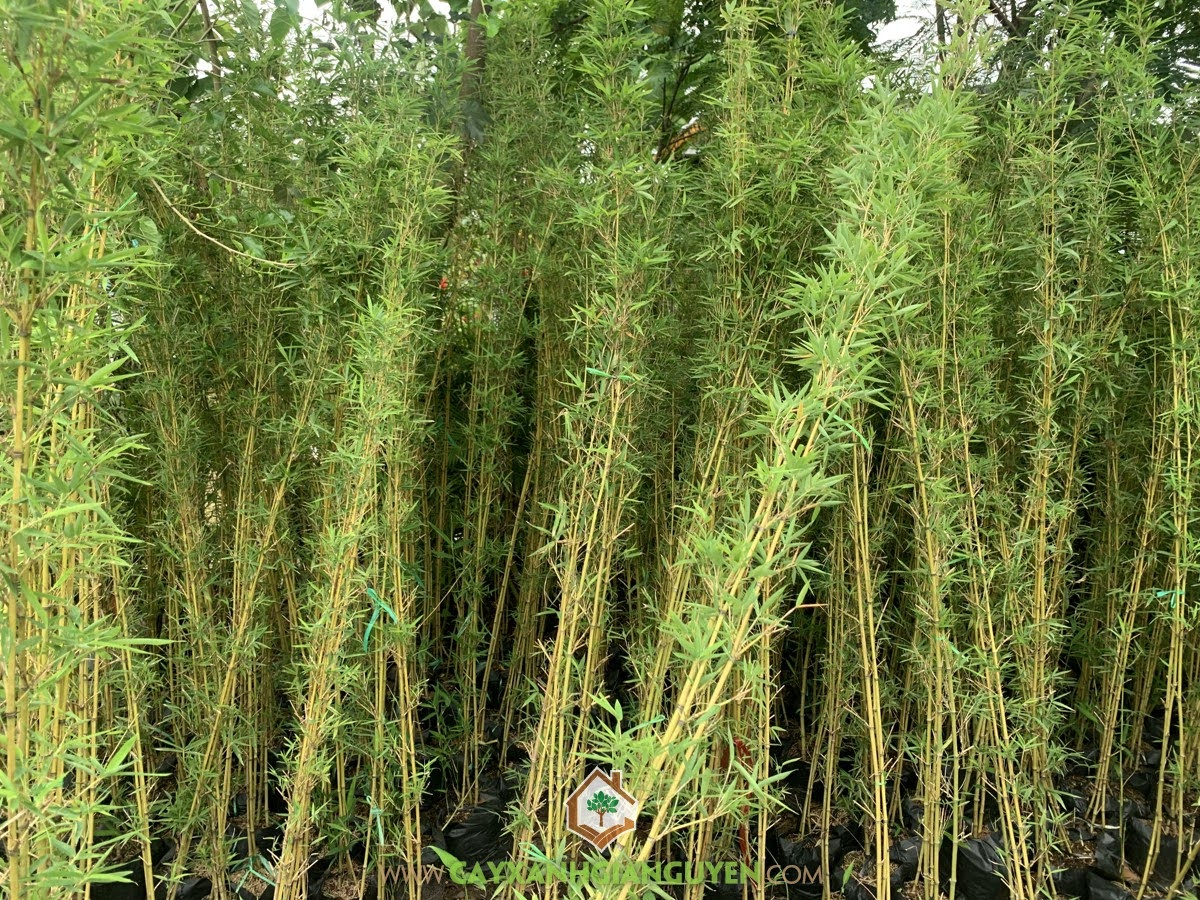 Trúc Quân Tử, Cây Trúc Quân Tử, Cây Giống Trúc Quân Tử, Cây giống, Vườn ươm Cây Xanh Gia Nguyễn