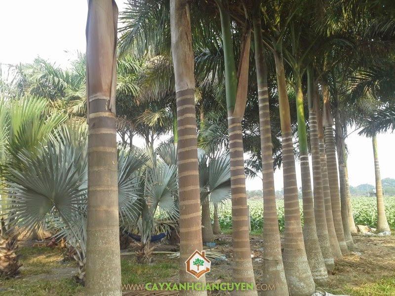 Roystonea Regia, Cau Vua, Cau Bụng, Cây Cau Vua, Cây Công Trình
