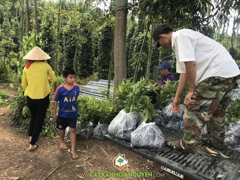 Cây Lộc Vừng, Vườn ươm Cây Xanh Gia Nguyễn, Cây Giống Lộc Vừng, Lộc Vừng, Lộc Vừng Giống
