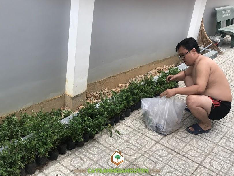 Cây Cẩm Tú Mai, Vườn ươm Cây Xanh Gia Nguyễn, Trồng cây hoa cẩm tú mai, Hoa Cẩm Tú Mai, Cây giống hoa cẩm tú mai, Cây giống