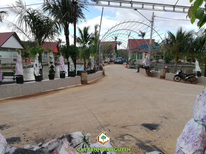 Vườn ươm Cây Xanh Gia Nguyễn, Công ty Nguyên Thành Phát, Cây Sử Quân Tử, Cây Bông Giấy, Cây Phúc Lộc Thọ