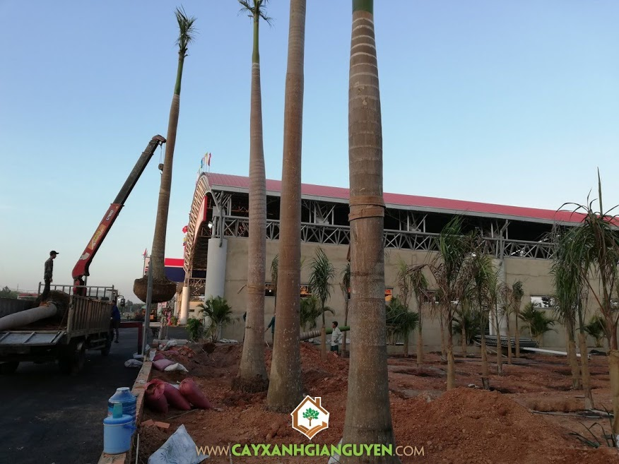 Cây Cau Vua, Vườn ươm Cây Xanh Gia Nguyễn, Chăm sóc cây xanh, Cung cấp Cây Cau Vua, Cau Vua