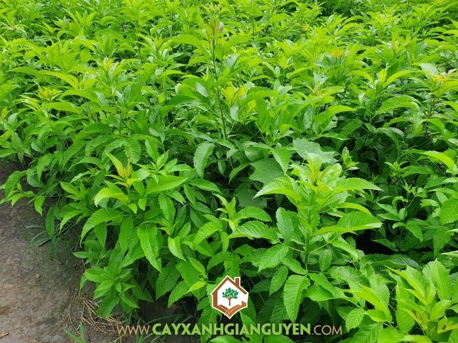 Cây Huỳnh Liên, Cách nhân giống Cây Huỳnh Liên bằng hạt, Giống Cây Huỳnh Liên, Phân chuồng hoai mục, Phương pháp gieo ươm hạt
