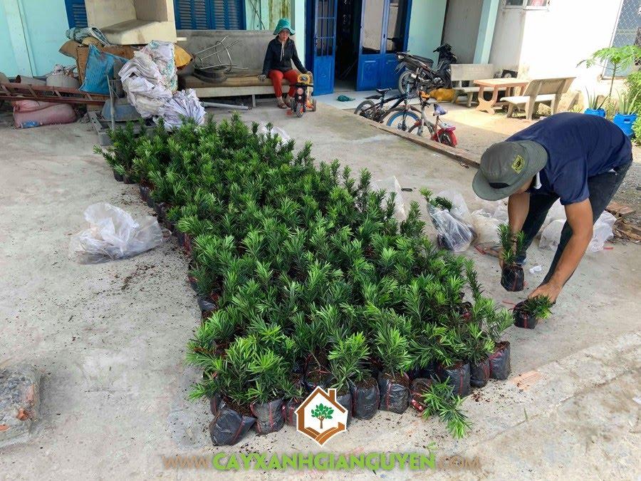 Cây Tùng La Hán, Tùng La Hán, Vườn ươm Cây Xanh Gia Nguyễn, Cây Giống Tùng La Hán, Vạn Niên Tùng