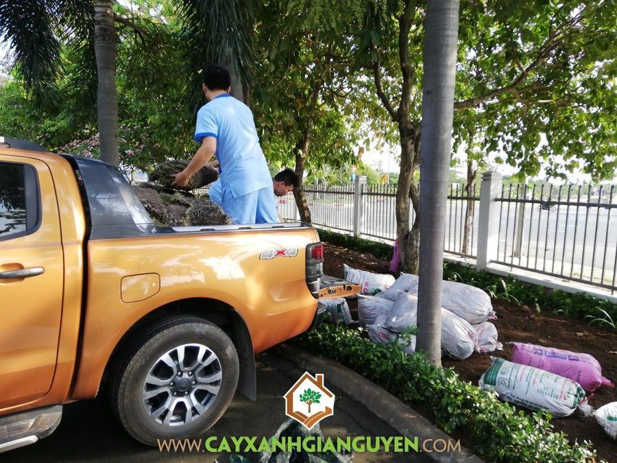 Cỏ Lông Heo, Công ty TNHH Thế Giới Gen, Công ty Cây Xanh Gia Nguyễn, Trồng trang trí khuôn viên, Công ty Cây Xanh