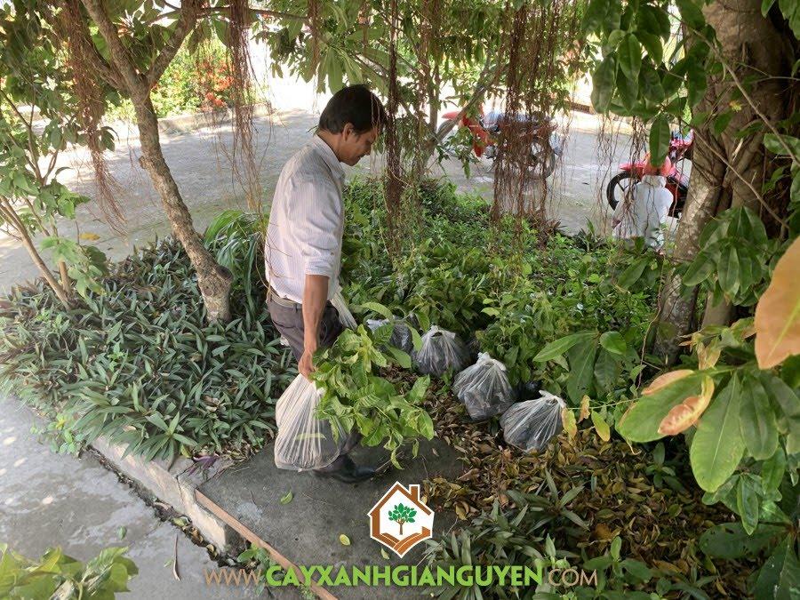 Cây Bằng Lăng, Vườn ươm Cây Xanh Gia Nguyễn, Cây Bằng Lăng Giống, Giá Cây Bằng Lăng Giống, Bằng Lăng Giống