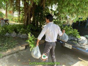 Cây bằng lăng, Vườn ươm Cây Xanh Gia Nguyễn, Cây bằng lăng giống, Giá cây bằng lăng giống, Cây giống nhập ngoại