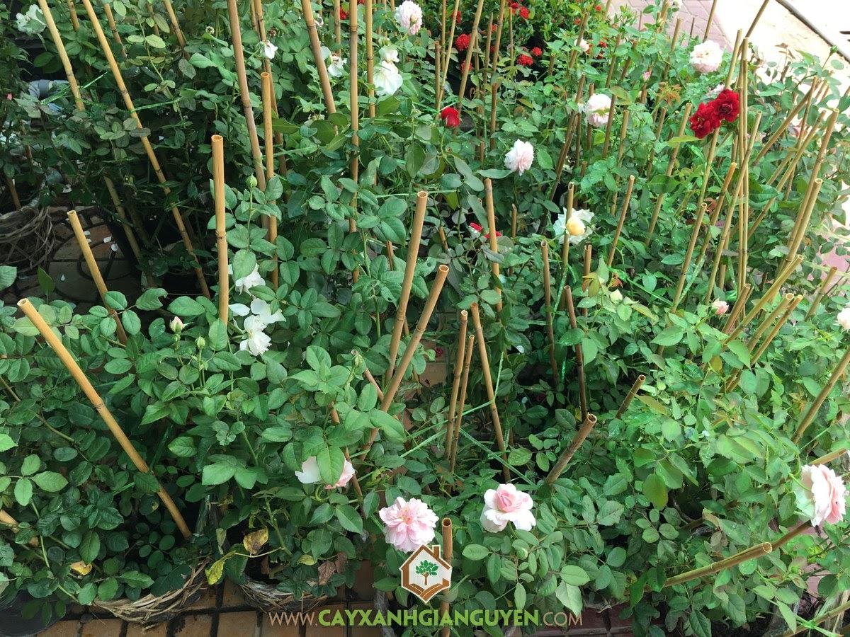 Giống Hoa Hồng Sa Đéc, Địa chỉ mua giống Hoa Hồng Sa Đéc, Làng hoa Sa Đéc, Giống Hoa Hồng trong chậu, trồng Hoa Hồng Sa Đéc, Hoa Hồng Sa Đéc