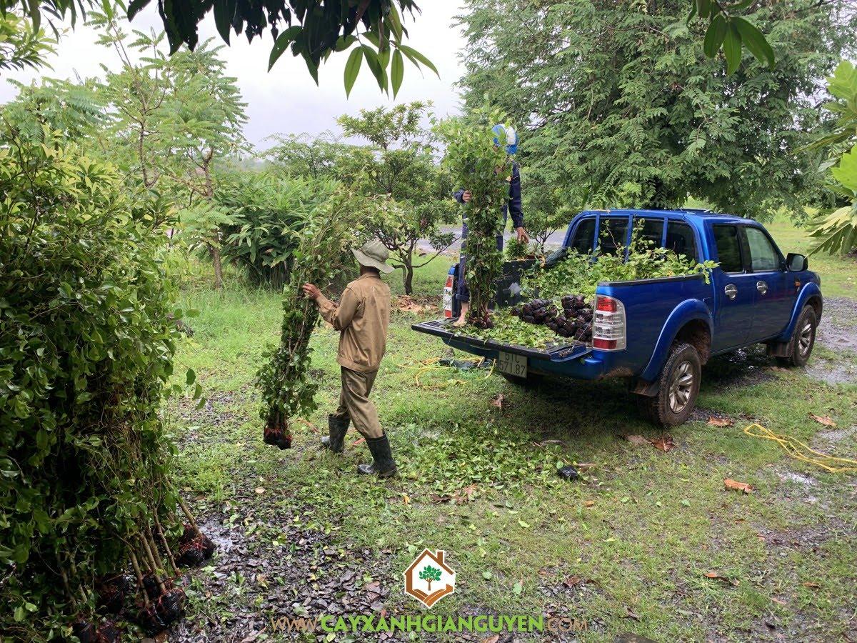 Cây Sanh, Vườn ươm Cây Xanh Gia Nguyễn, Cây Sanh Giống, Cây Sanh Công Trình