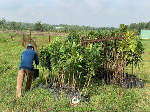 Cây lộc vừng, Vườn ươm Cây Xanh Gia Nguyễn, Cây công trình, Cây bonsai, Lộc vừng