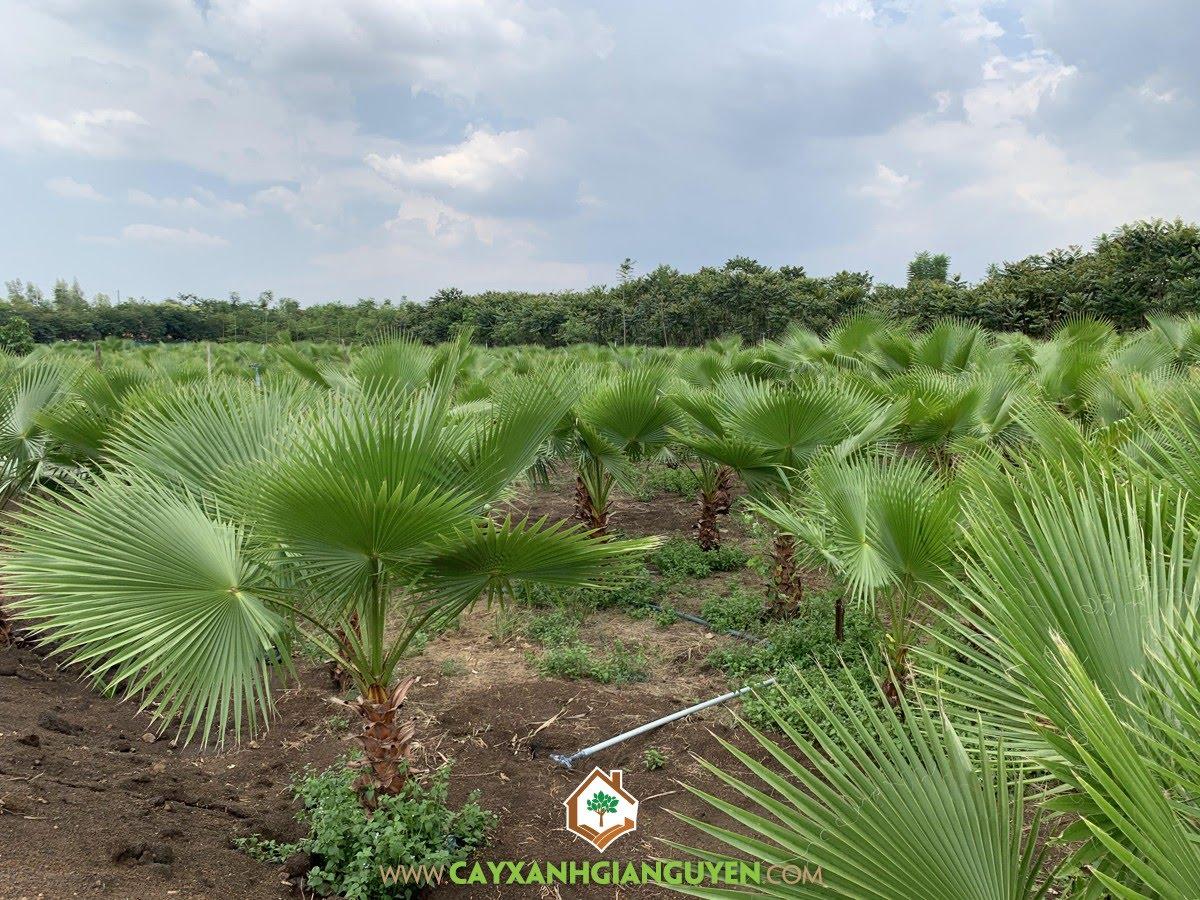 Cách trồng Cây Kè Mỹ, Cây Kè Mỹ, Giống Cây Kè Mỹ, Trồng Cây Kè Mỹ, Kè Mỹ